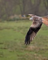 Red Kite; 1st place in Digital section; by David Taylor