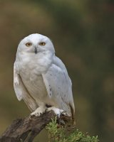Snowy Owl;1st place in A section prints; by David Taylor