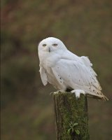 Snowy Owl; 2nd place in digital section; by David Taylor