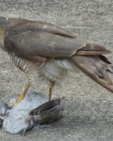 Sparrowhawk with Woodpigeon Kill; 2nd place in B section prints; by Phillip Green