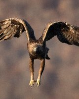 Wild Golden Eagle in flight; 3rd place in A section prints; by Steve Hitchen