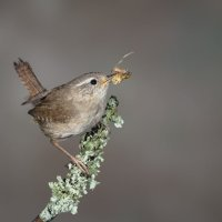 Wren with Cretters; joint 3rd in digital section; by David Taylor