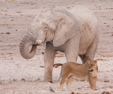 Elephant tolerating the presence of a lion