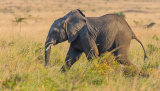 Juvenile Elephant