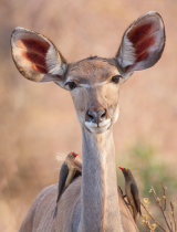 Kudu with Red Billed Oxpeckers