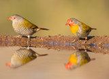 Melba Finches