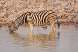 Zebra and Black Backed Jackal