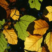 Sunlit beech leaves