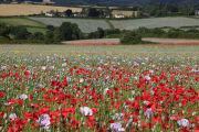 Tisbury Poppies