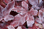 Liquidamber leaves