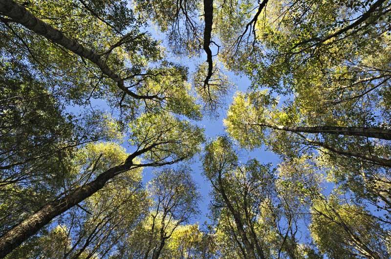 Birch trees012