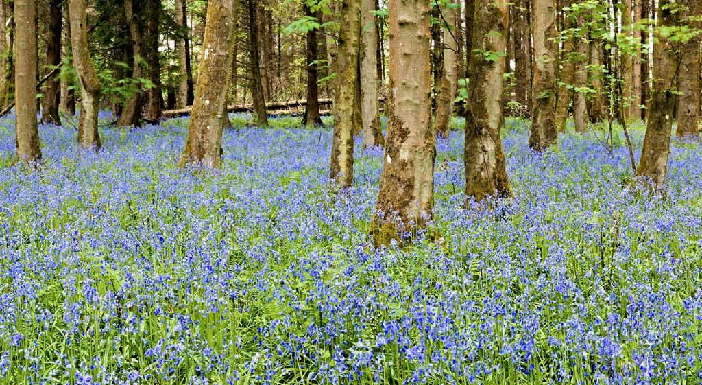 Bluebell wood0050-54
