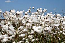 Bog cotton008