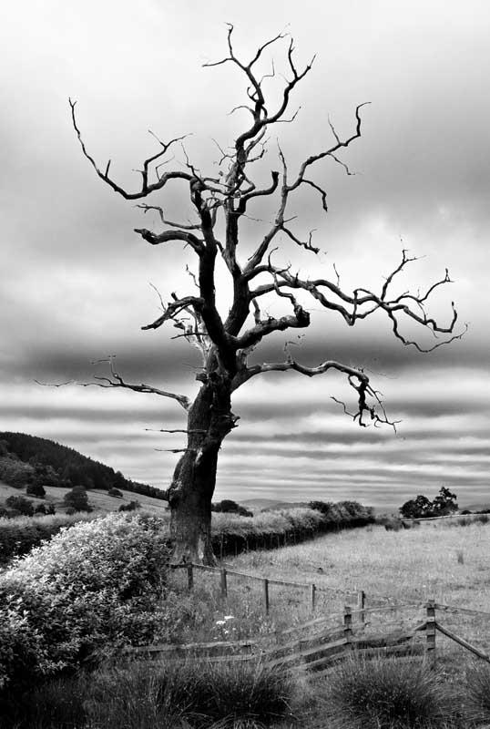 Dead tree010b&w
