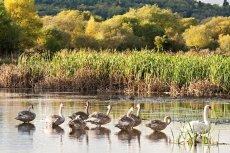 Morton loch swans 0018