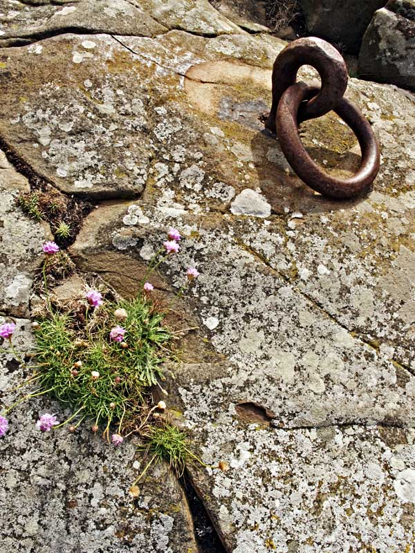 Ring and Sea Thrift0016