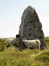 Sheep and standing stone008