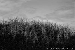 Maram Grass - Clare