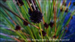 Reeds in flower at roadside.