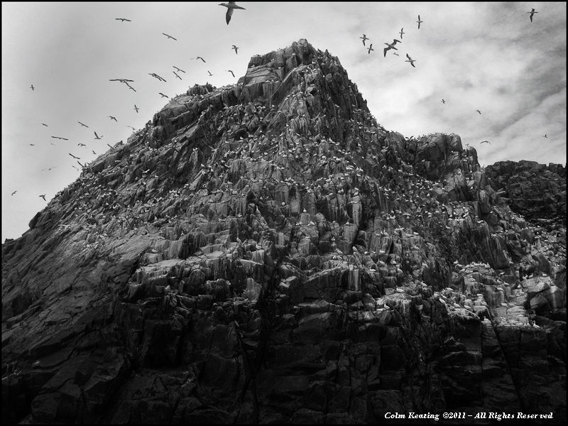 Saltee Islands - Gannet Colony.