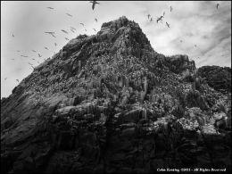 Saltee Islands - Gannet Colony.