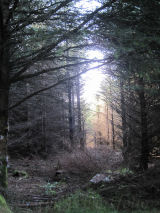 Evening forest shades