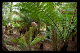 Boston tree fern's aplenty