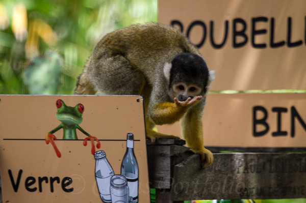 A Black-capped Squirrel monkey raiding the litter bins