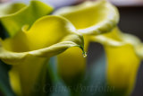 Raindrop on a Calla Lilly