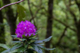 A rhododendron amost the forest