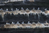 Rows of nesting gulls, on the cliff face