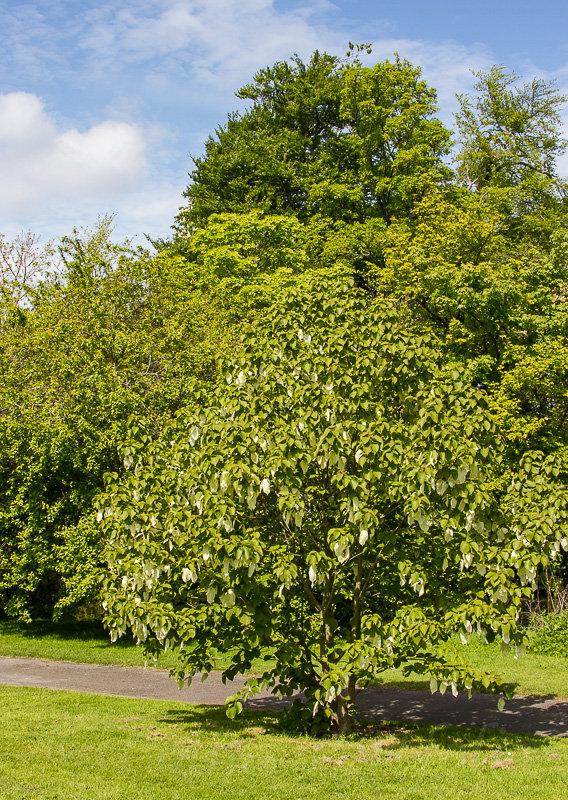 The 'Handkerchief Tree', davidia involucrata