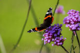 A Red Admiral butterfly at rest