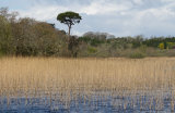 The reeds on the Garavogue River