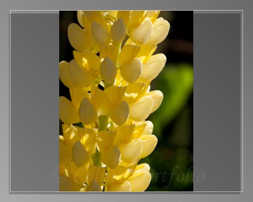 Yellow Lupin