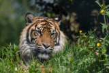 A Sumatran tiger, resting in the sun