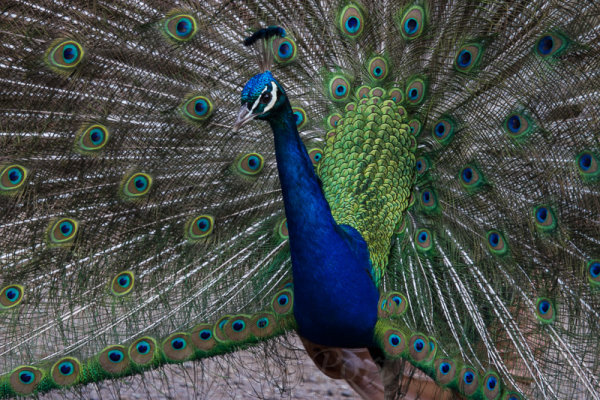 An Indian peacock in full display