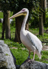 A Great White pelican