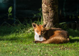An urban fox, resting in the early morning