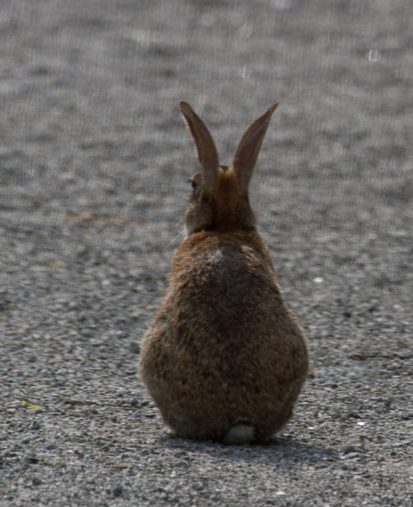 A rabbit in profile