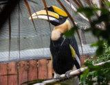 A Great Indian Hornbill