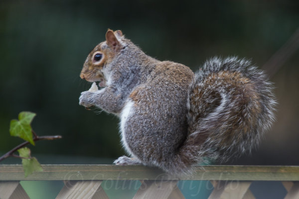 A grey squirre feeding on a garden fence
