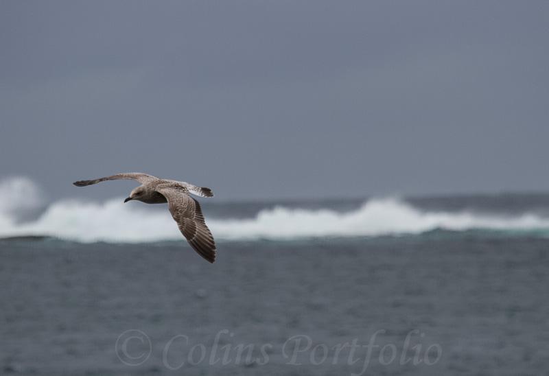 Gull over the breakers