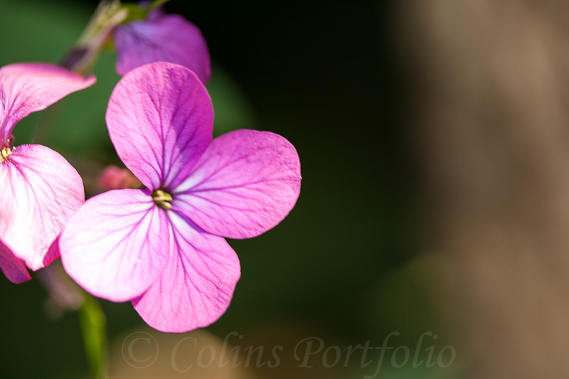 Honesty, Lunaria Bienni