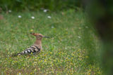 A Hoopoe (Upupa epops) sighted on our French campsite