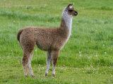 A young llama
