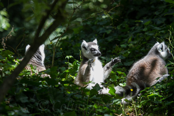 Several Lemur Catta enjoying the shade