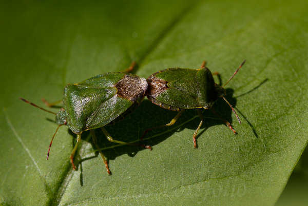 Two Common Green Shield bugs, mating