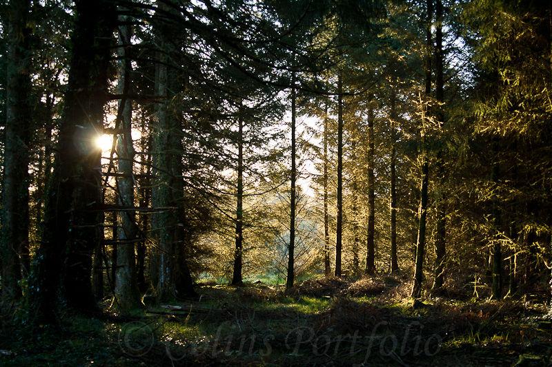 Dawn breaks between the trees