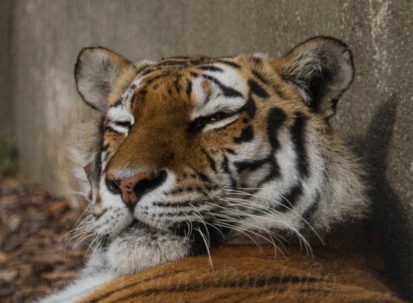 A sleepy tiger